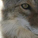 avertisseur-coyote